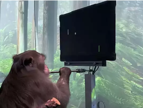 Elon Musk Put Such A Super Chip In Mind, Monkey Started Playing Video Games On Computer