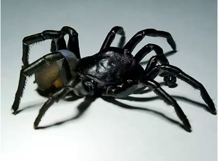 New Species Of Poisonous Spider Found In America